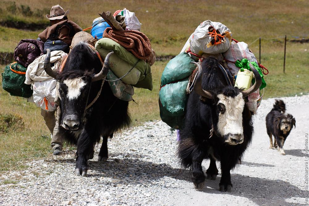 два яка нагруженных баулами в провинции Цинхай в Китае