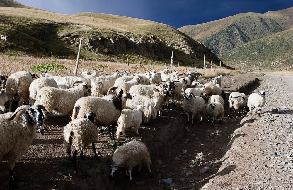 бараны в Тибете