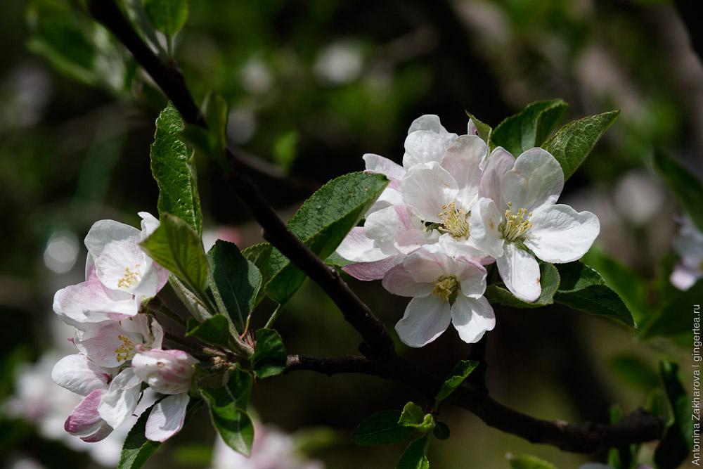 яблоня цветет, apple-tree blooming