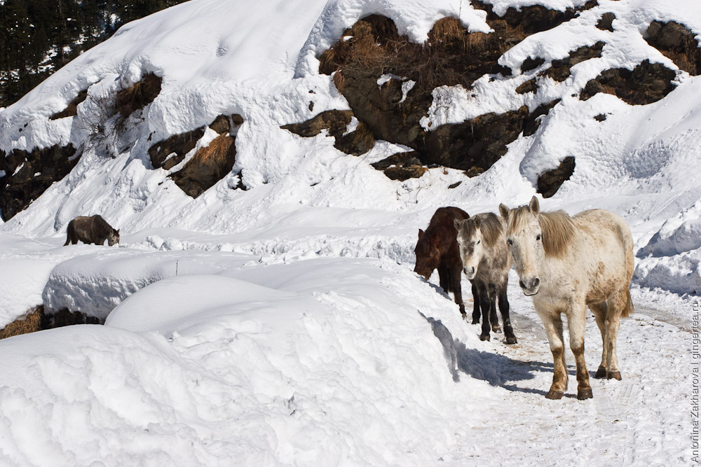 лошади в долине Куллу зимой