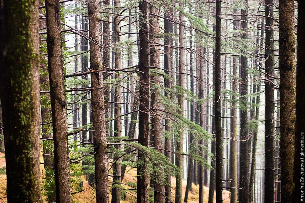 лес в долине Куллу, Индия, Химачал Прадеш