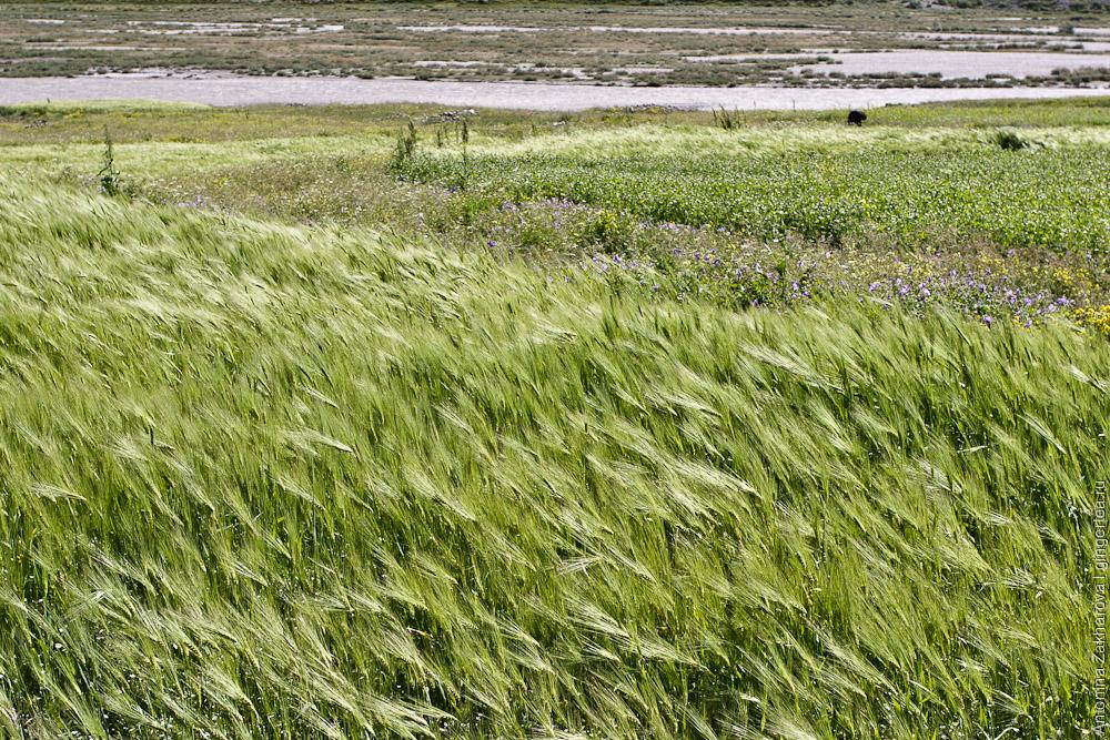 Зерновые на реке Дода, Занскар, Индия