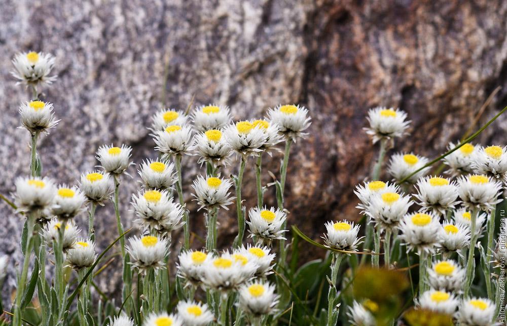 Цветы в  долине к перевалу Чилунг-Ла, Каргил, Индия