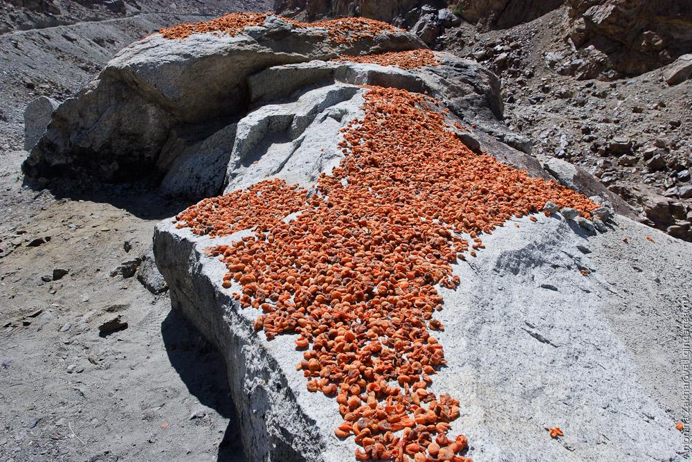 абрикосы сушатся на камне в долине Инда