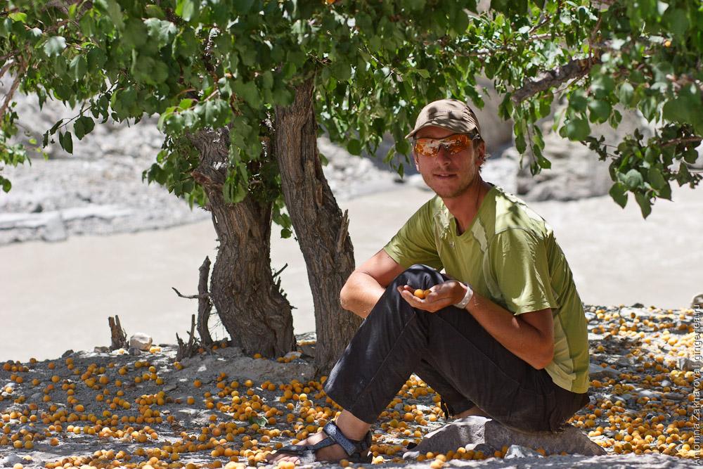 абрикосы в Ладакхе