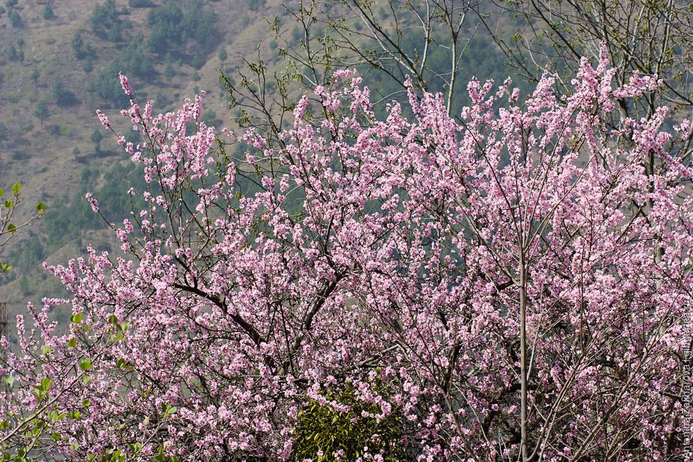 цветущие яблони в долине Куллу в Индии