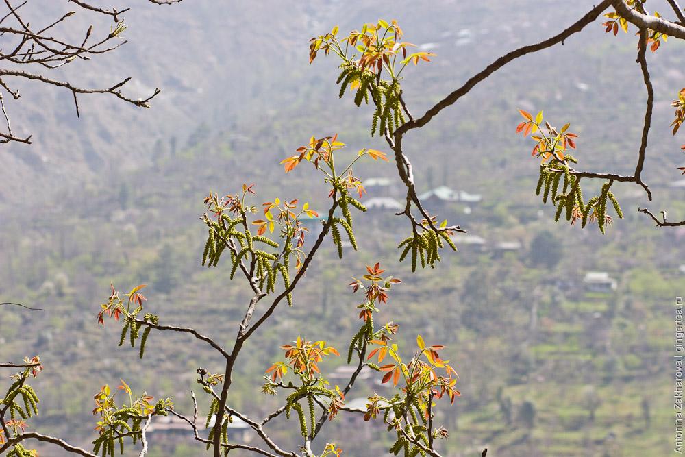 сережки на дереве