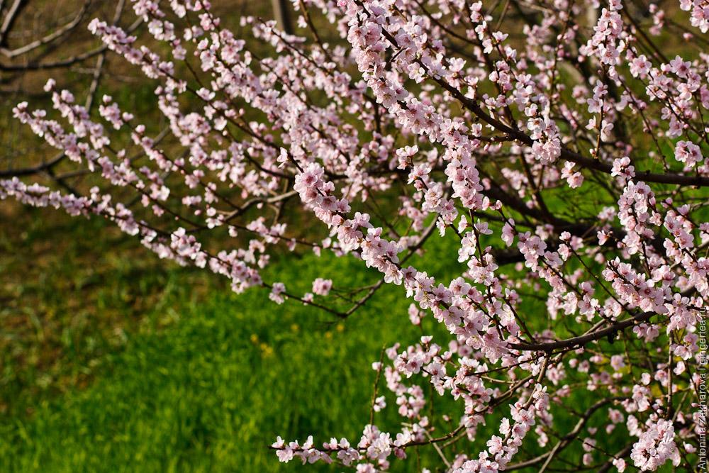 цветут сливовые деревья