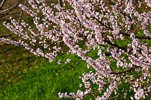 Долина Куллу - где яблони в цвету