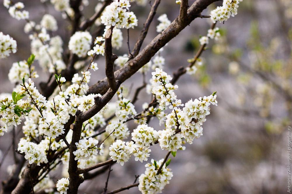 яблоня в цвету в долине Куллу