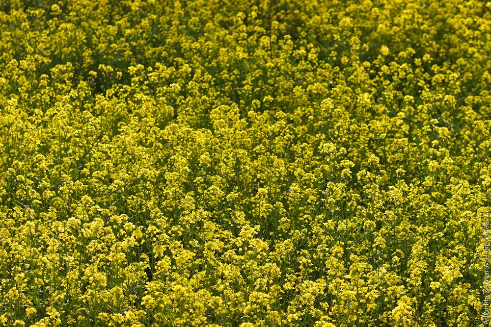 горчица цветет в долине Куллу