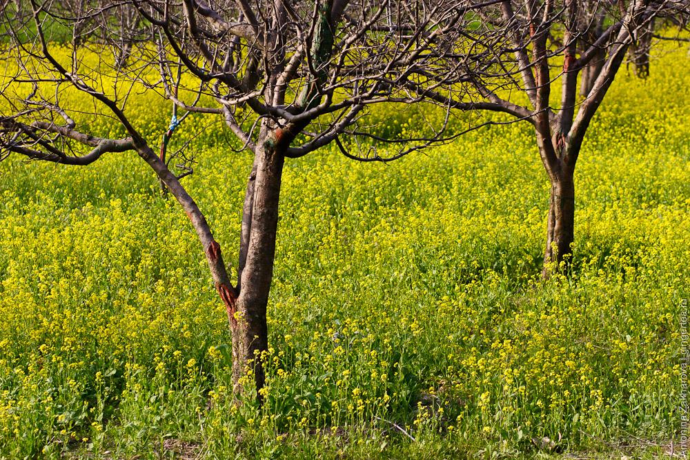 поле цветущей горчицы