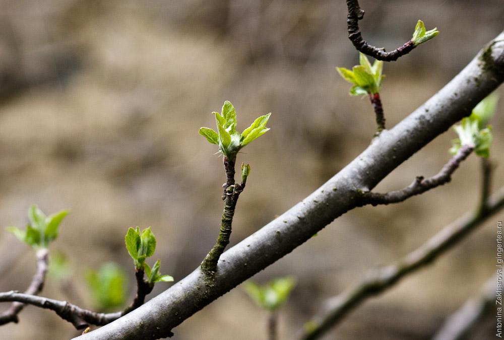 первые листики в долине Куллу