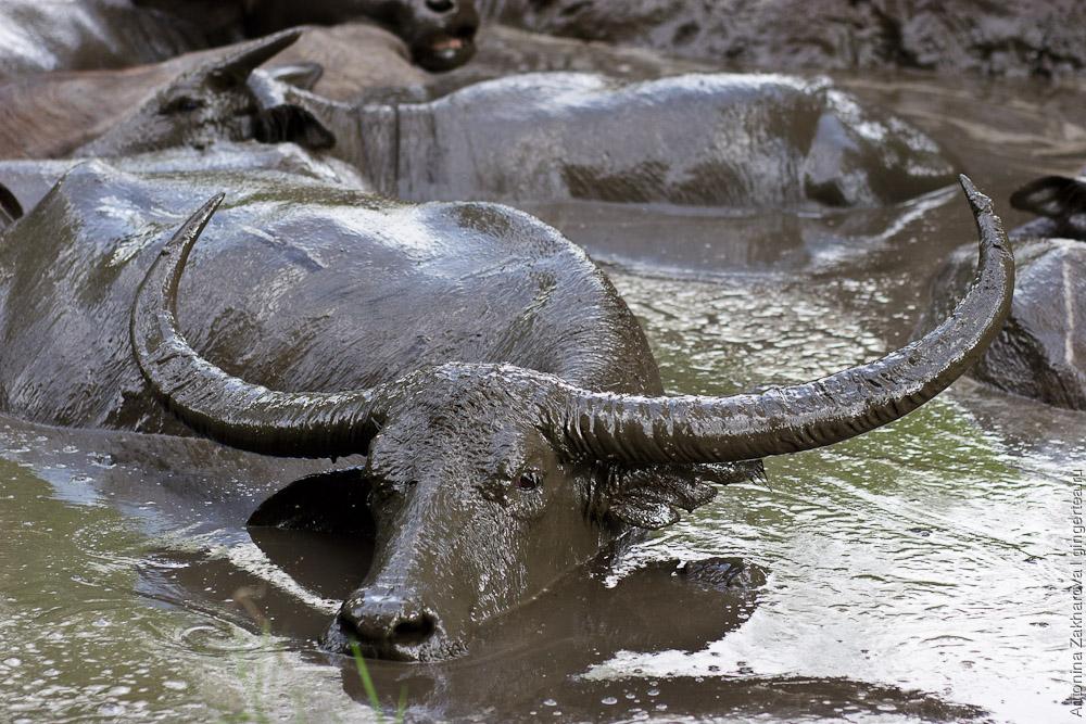 буйволы в луже