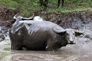 Ленивые индонезийские буйволы