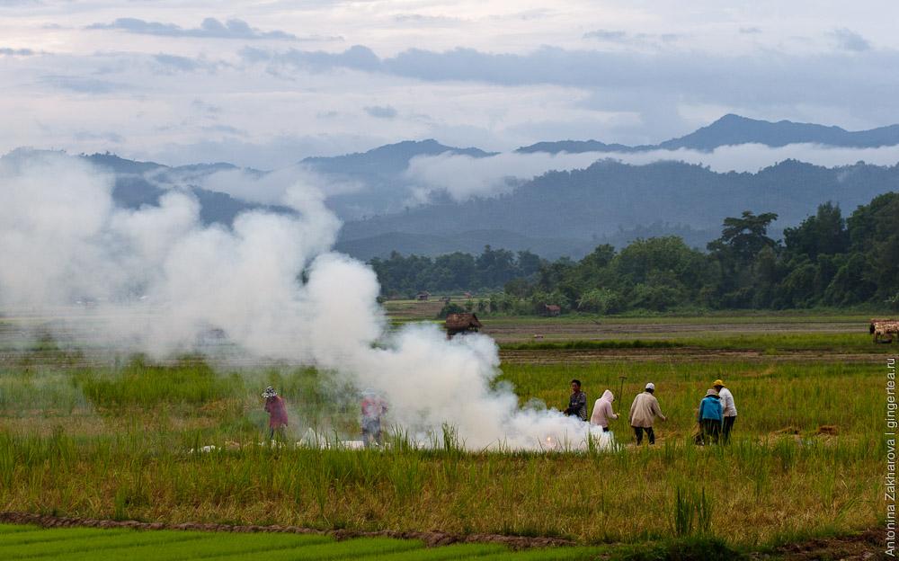 как сажают рис в Лаосе