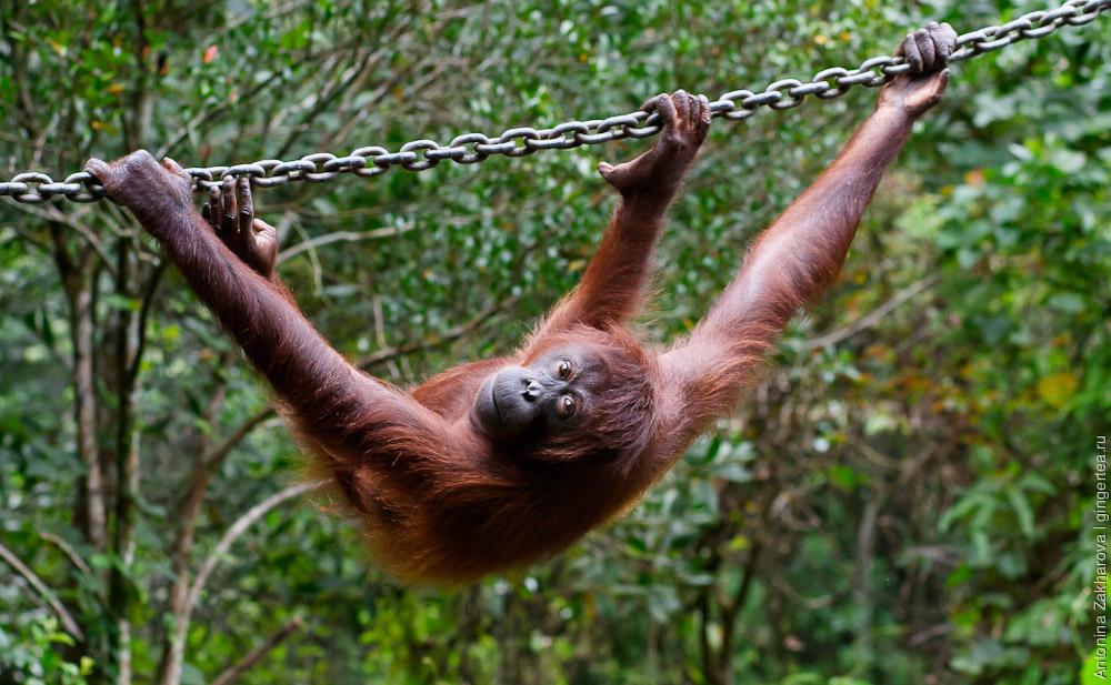 орангутан, orangutan