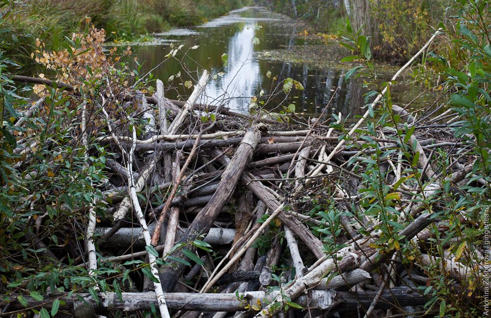 бобровая плотина в Тверской области