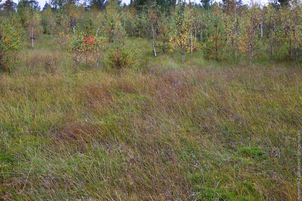 клюквенное болото в Тверской области