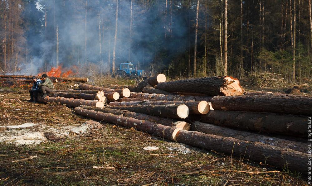 сжигают лес, испорченный короедом