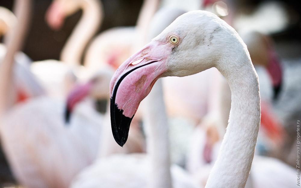 фламинго, flamingo