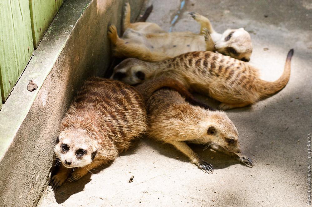 сурикат, meerkat, suricata