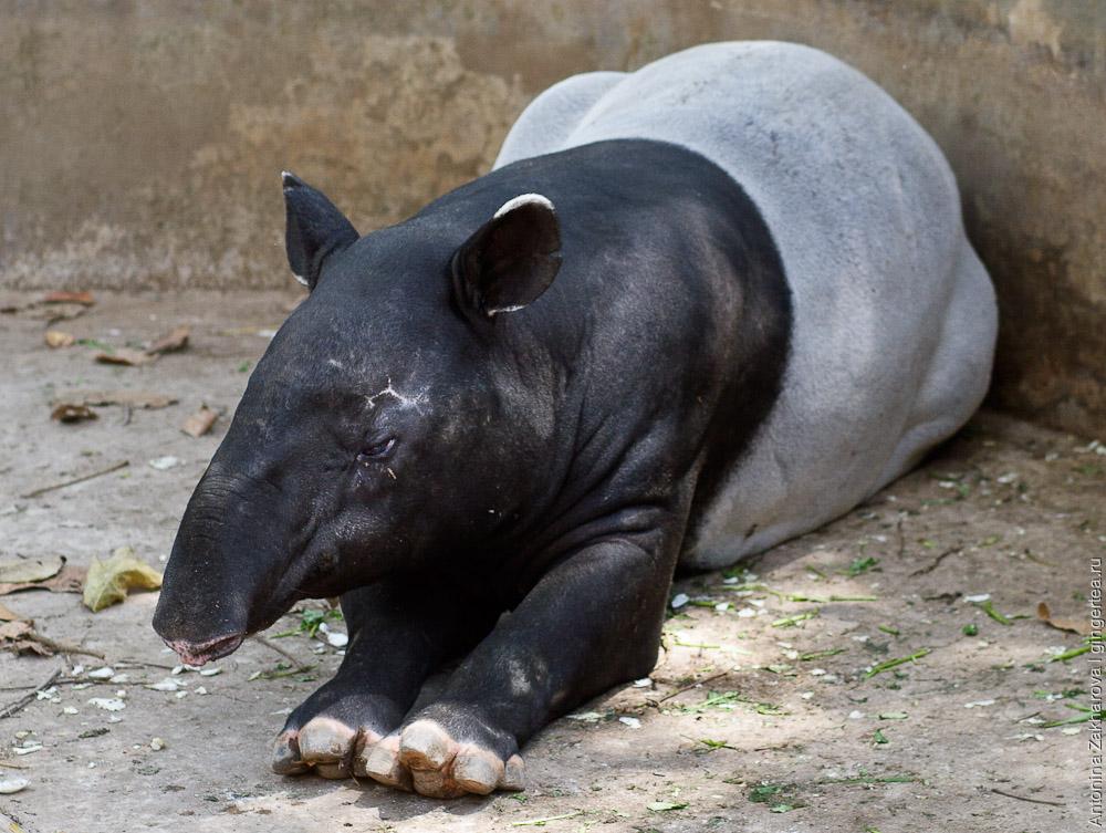 чепрачный тапир, malayan tapir