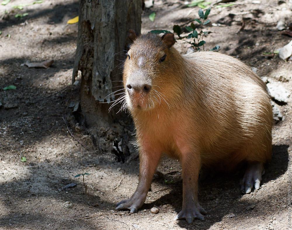 капибара, capybara