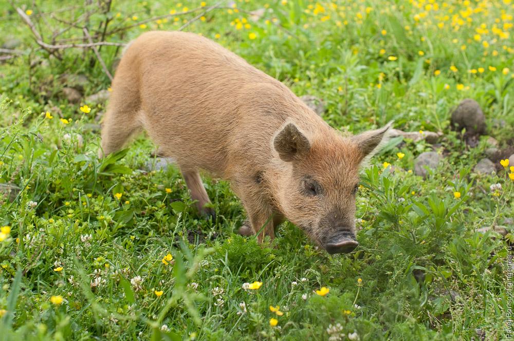 О свиньях и свинках в окрестностях Ткуарчала