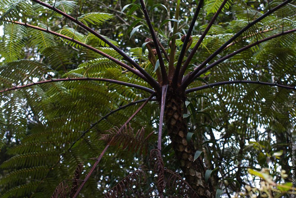 древовидный папоротник, tree fern