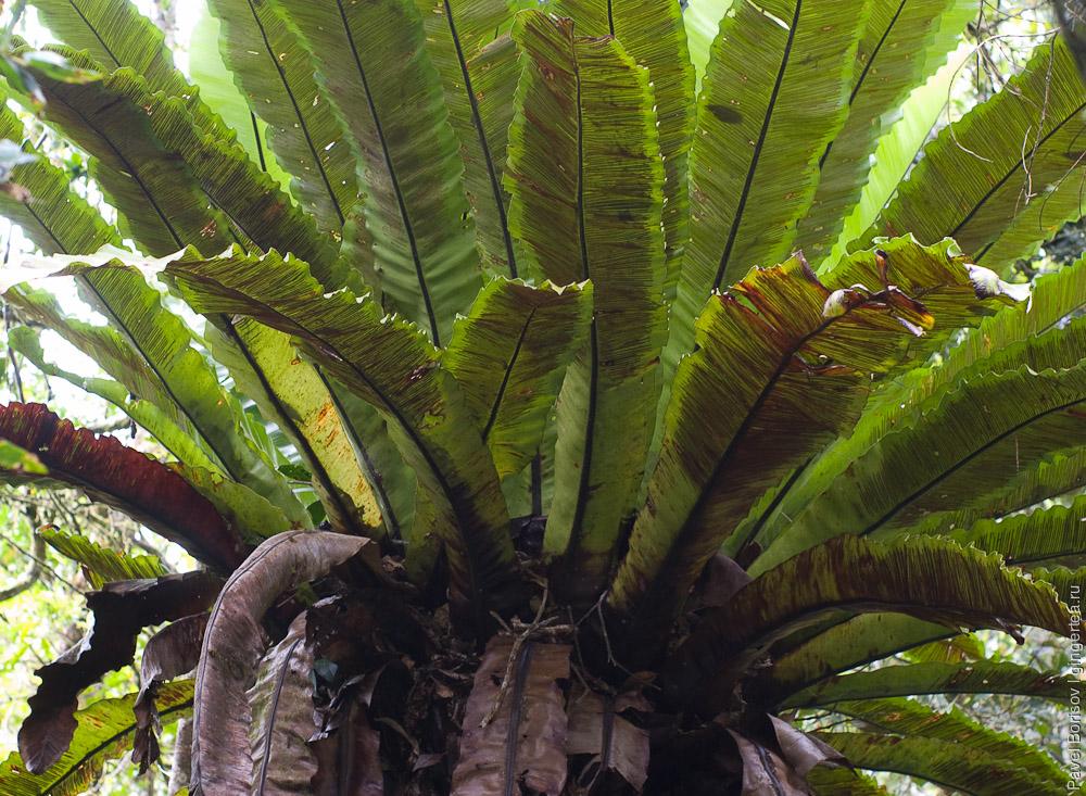 асплениум, костенец, asplenium, birds nest fern