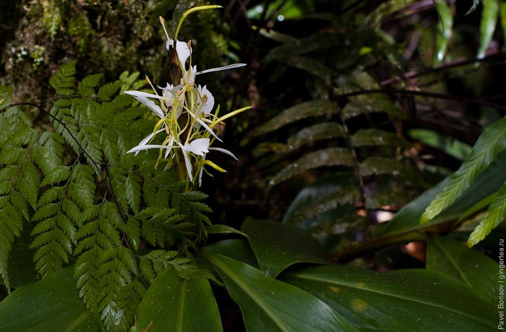 цветок имбиря, ginger flower