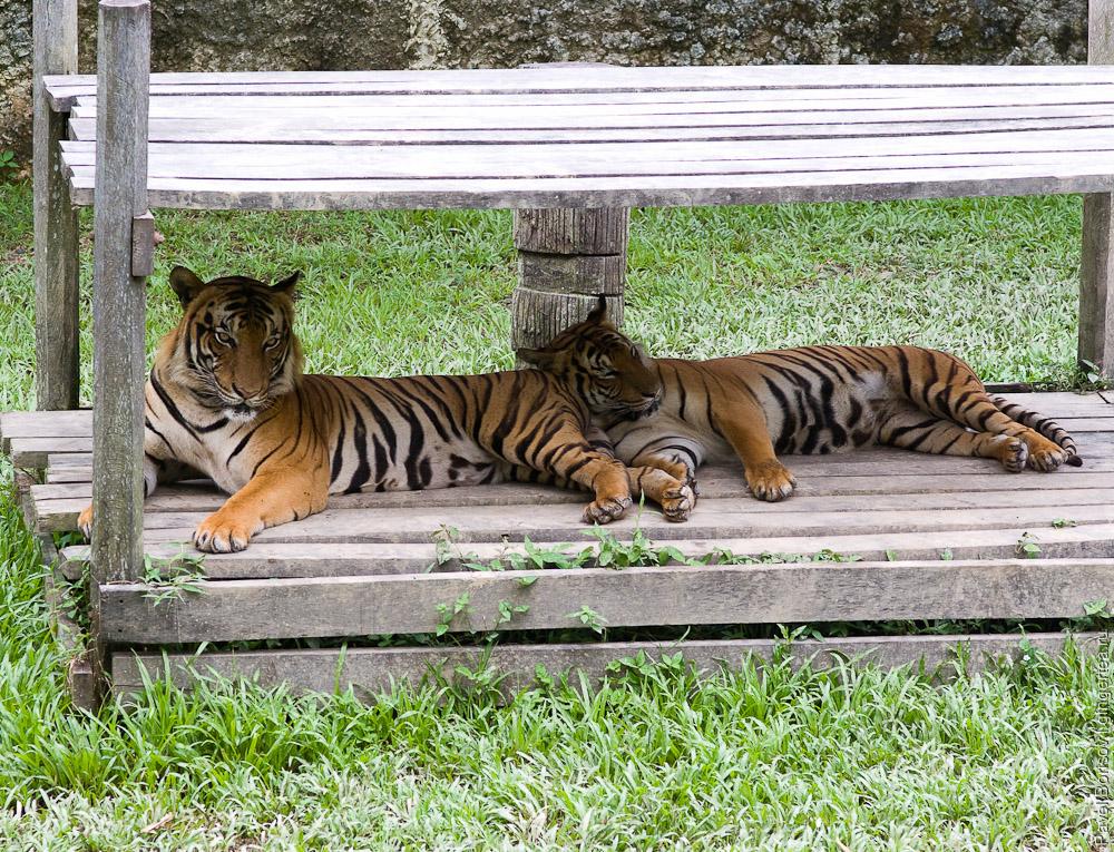 тигр, tiger