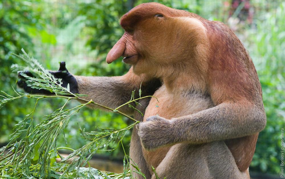 обезьяна носач, proboscis monkey