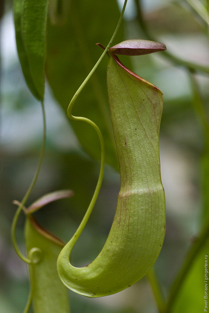 непентес, nepenthes, pitcher plant
