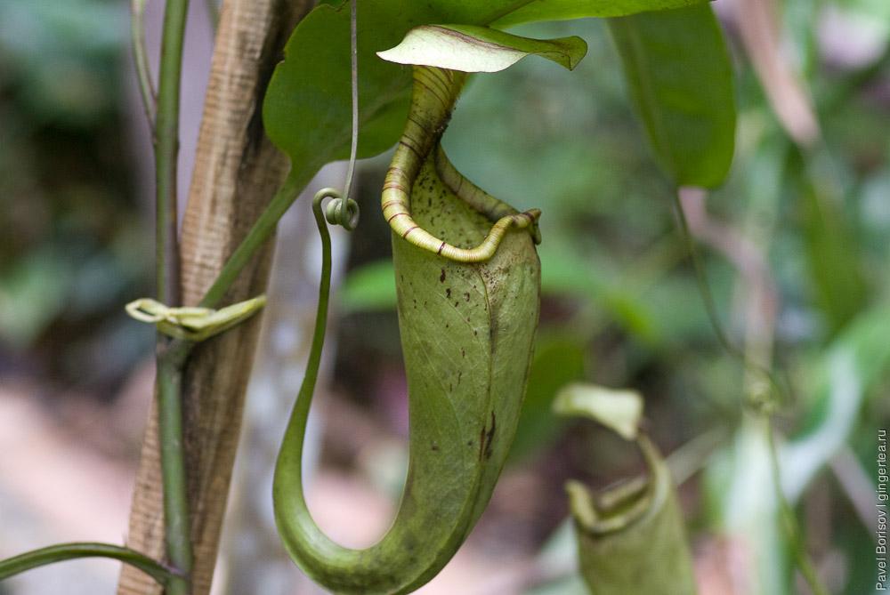 непентес, nepenthes, pitcher plant