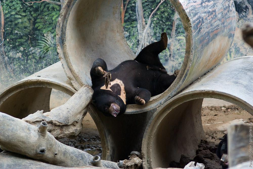 малайский медведь, sunbear