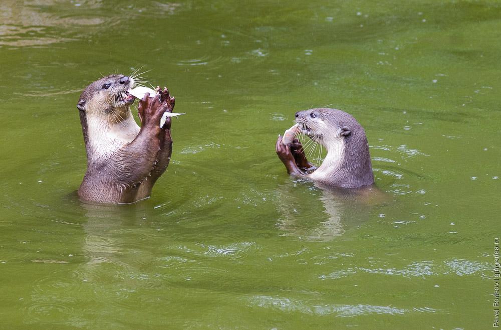 выдра, otter