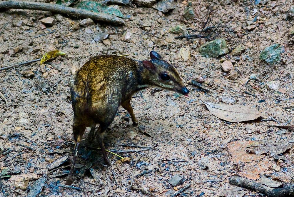 канчиль, оленёк, lesser mouse-deer