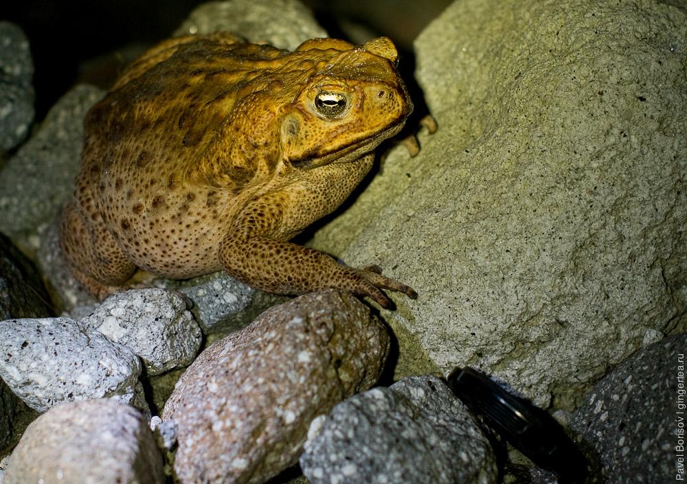 жаба на Филиппинах, Philippines toad