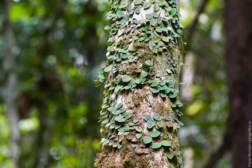 вьющиеся растения на стволе в заповеднике Данум