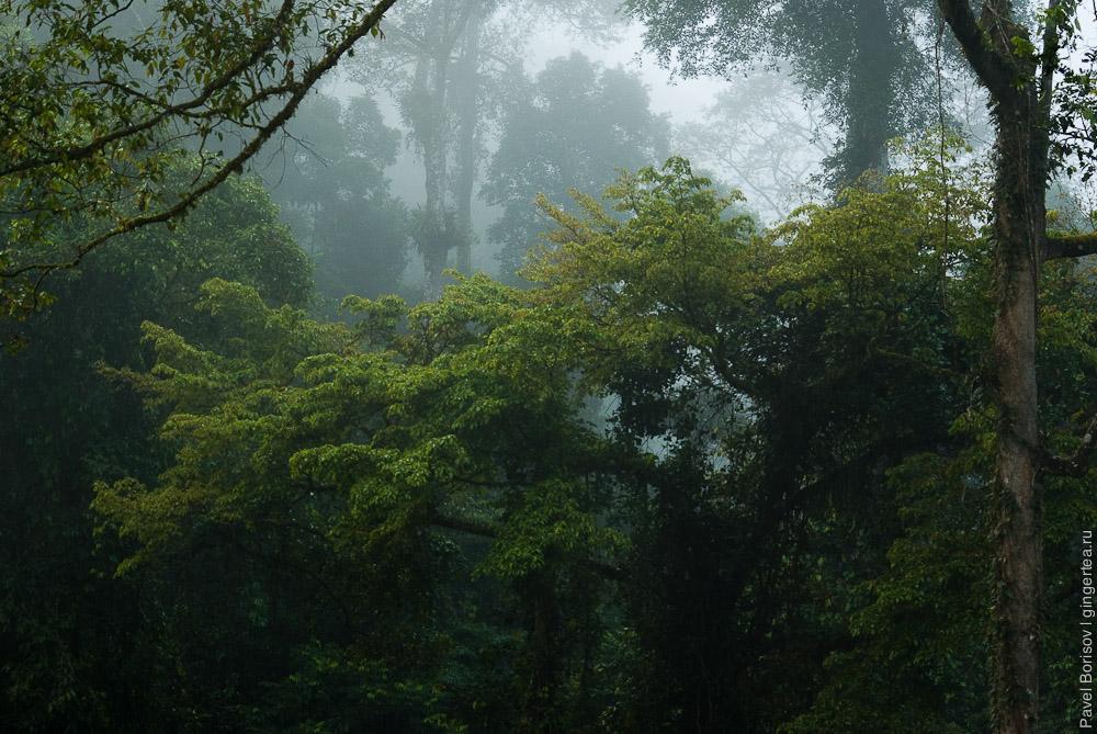 влажный тропический лес долины Данум на рассвете, Danum valley rainforest just before sunrise