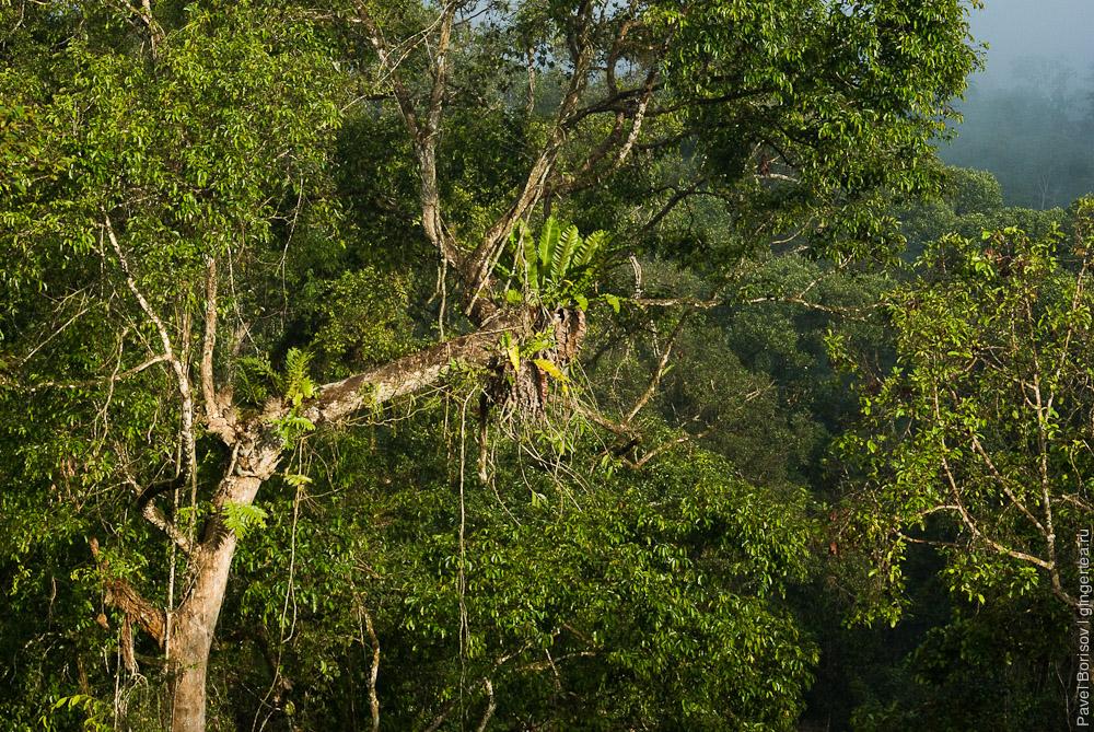 асплениумы в сорока метрах над землей, bird's nest fern grows 40m above the ground