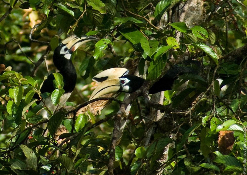 пара азиатских птиц-носорогов, a couple of Oriental Pied Hornbill (Anthracoceros albirostris)