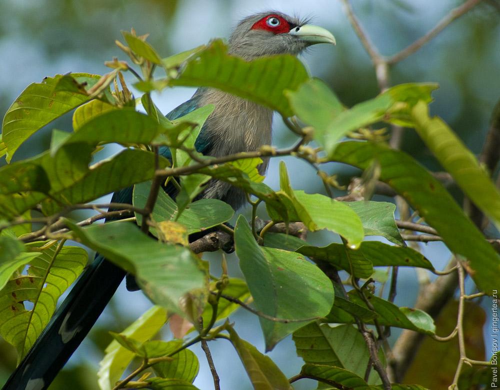 птицы долины Данум, Danum valley birdwatching