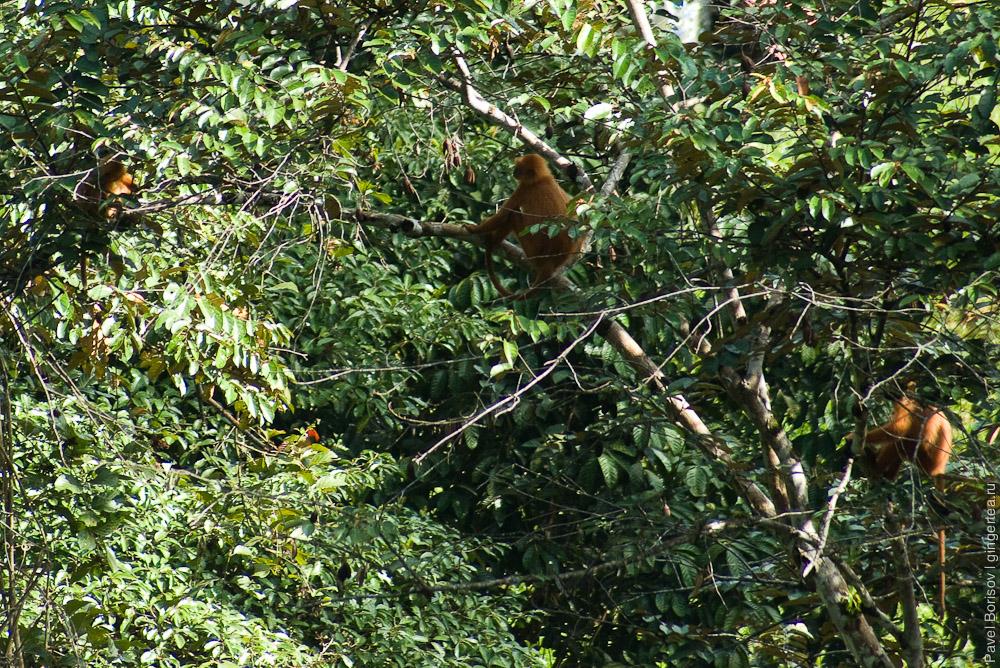 семья каштановых тонкотелов, красный лангур, maroon leaf monkeys