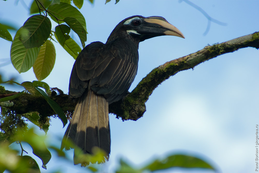 короткочубый калао, Bushy-crested Hornbill (Anorrhinus galeritus)