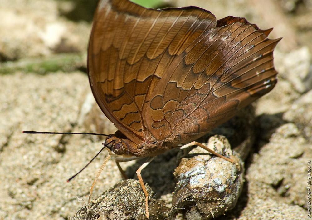 бабочка в заповеднике Данум, Danum valley butterfly