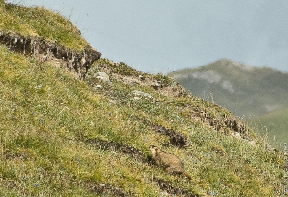 сурок напуган и убегает к сурчине, marmot running to its burrow in fear