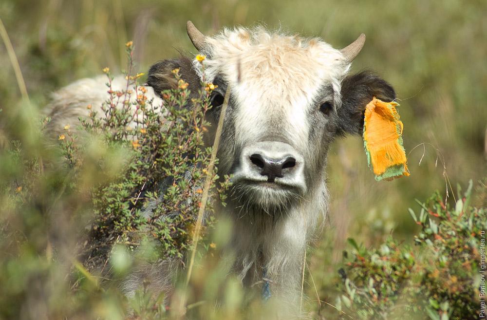 теленок яка, yak cub